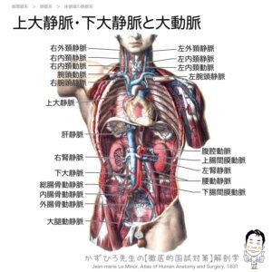 出典:徹底的解剖学「上大静脈・下大静脈と大動脈」